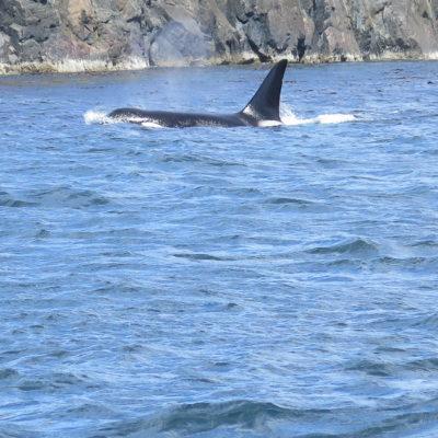 Orcas! …und mehr Großartiges auf Vancouver Island
