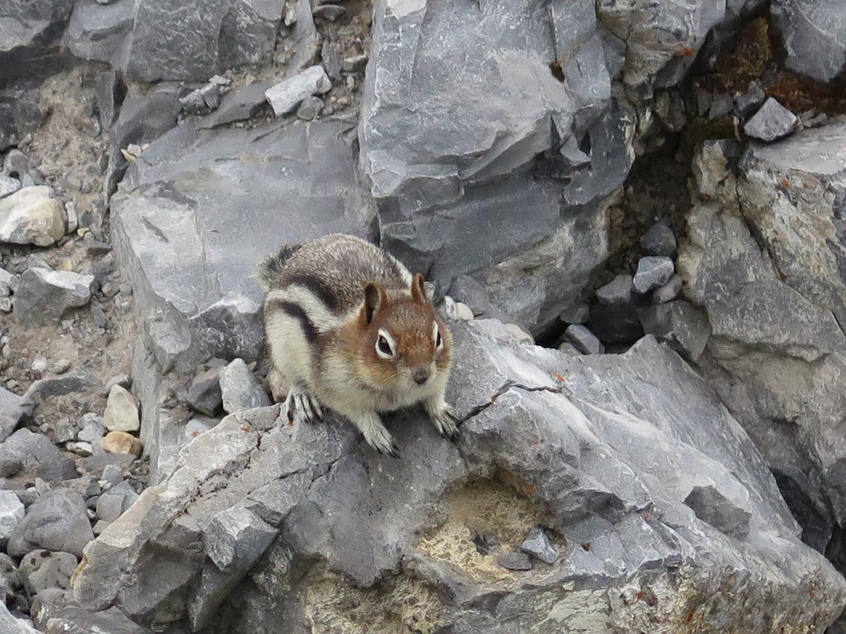 Streifenhörnchen Sulphur Mountain