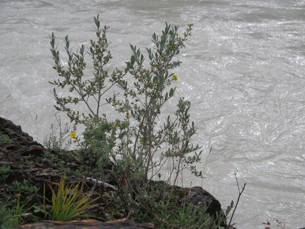 Kicking Horse River mit Blume