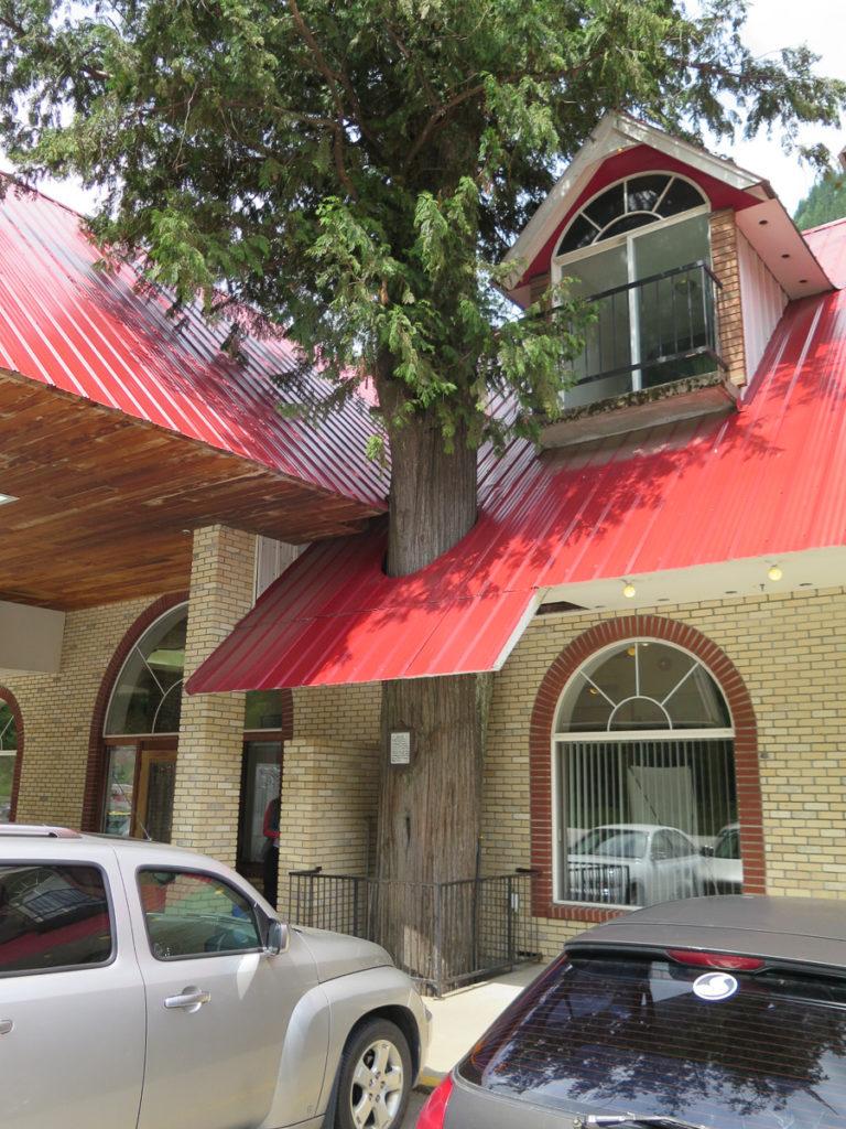 Rote Zeder der durch das Dach vom Haus gewachsen ist