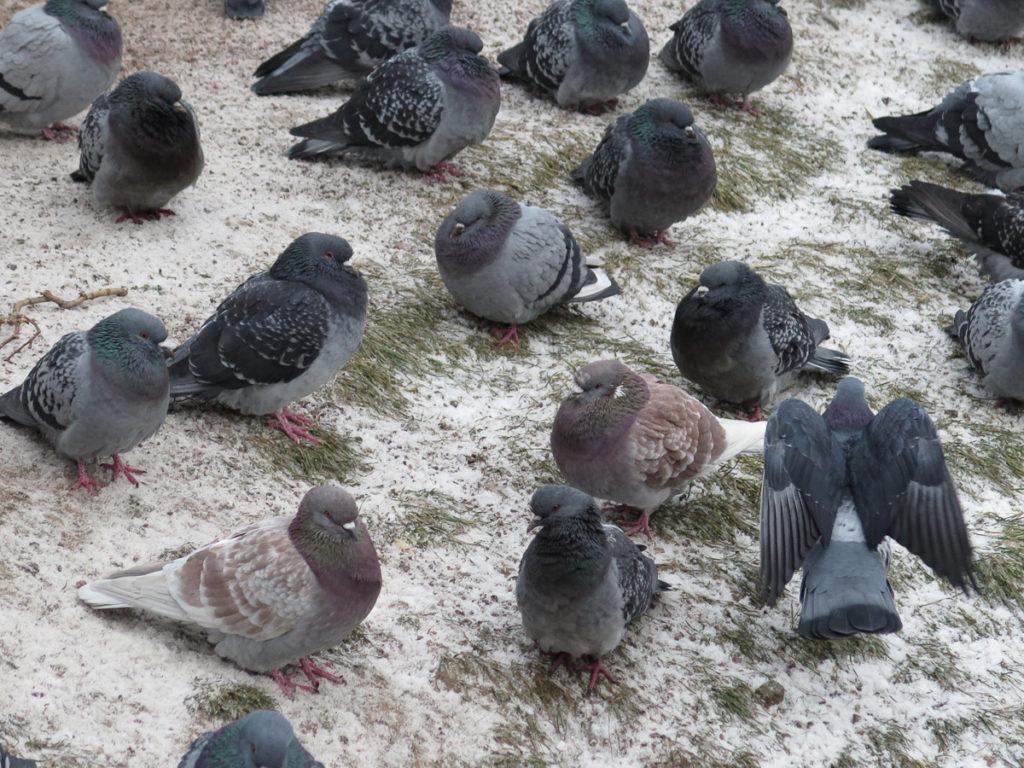 Tauben im Schnee