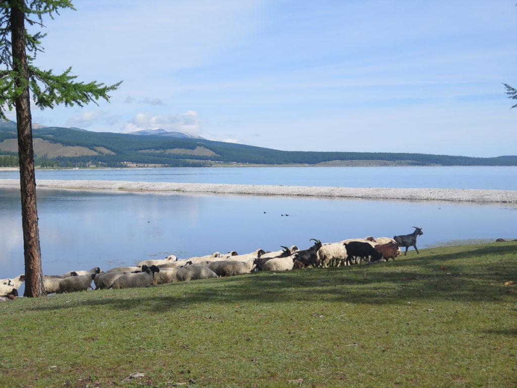 Ziegenherde am Chuwsgulsee in der Mongolei, die Sonne scheint