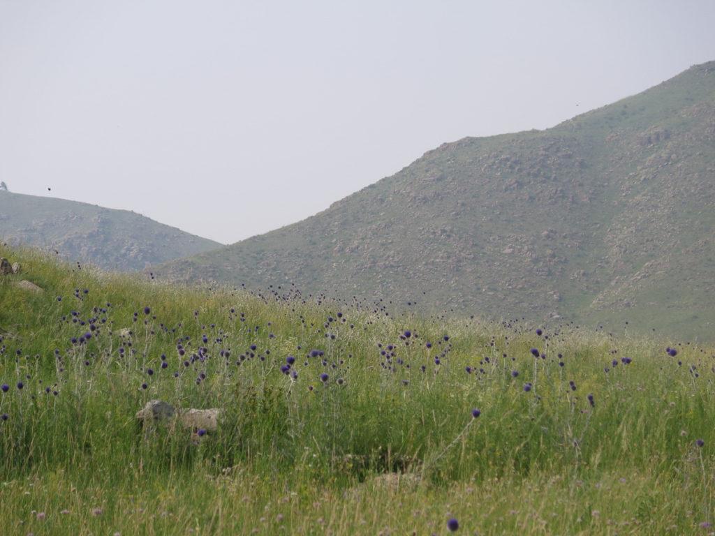 Bergen in der Mongolei, eine Wiese mit lilafarbene Disteln.
