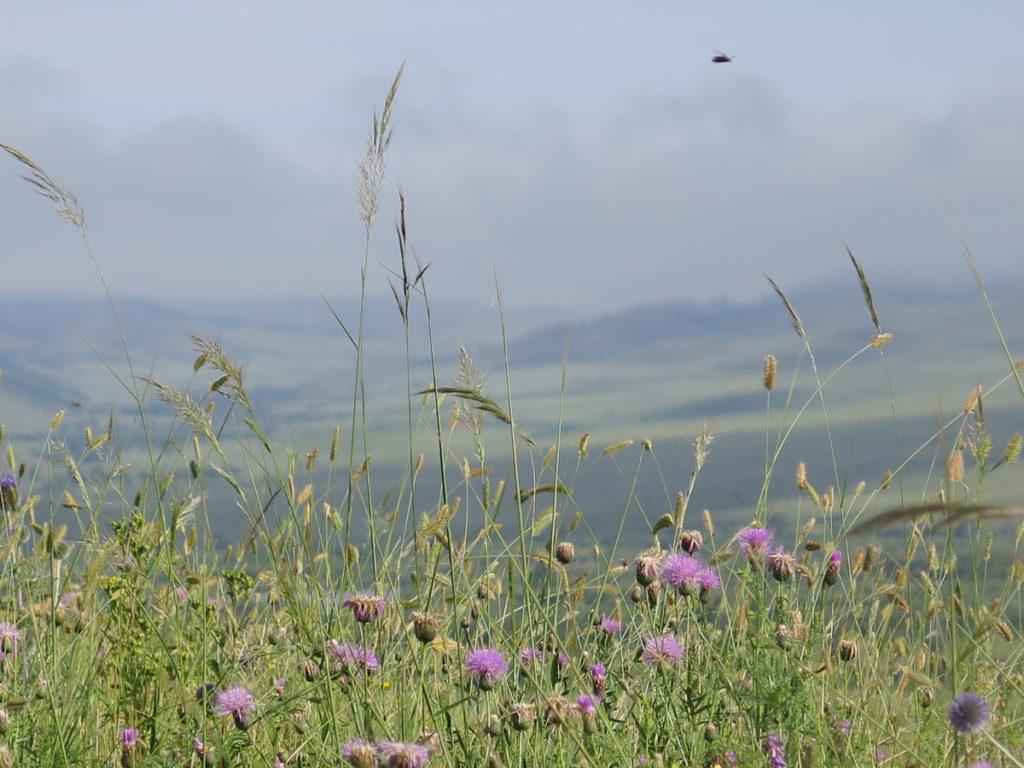 Wiese mit Lila Blumen in der Mongolei