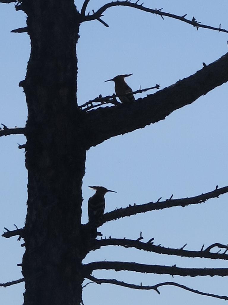 Schatten vom Wiedehopf im Baum