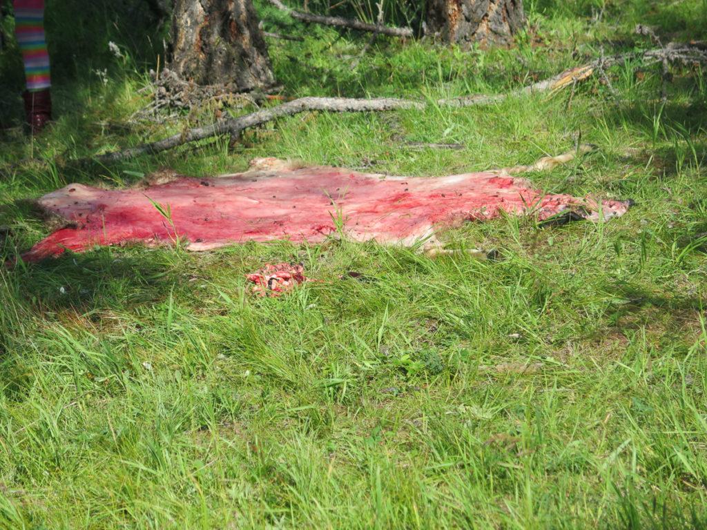 Rentierfell das auf dem Gras gelegt wurde zum trocknen, blutig