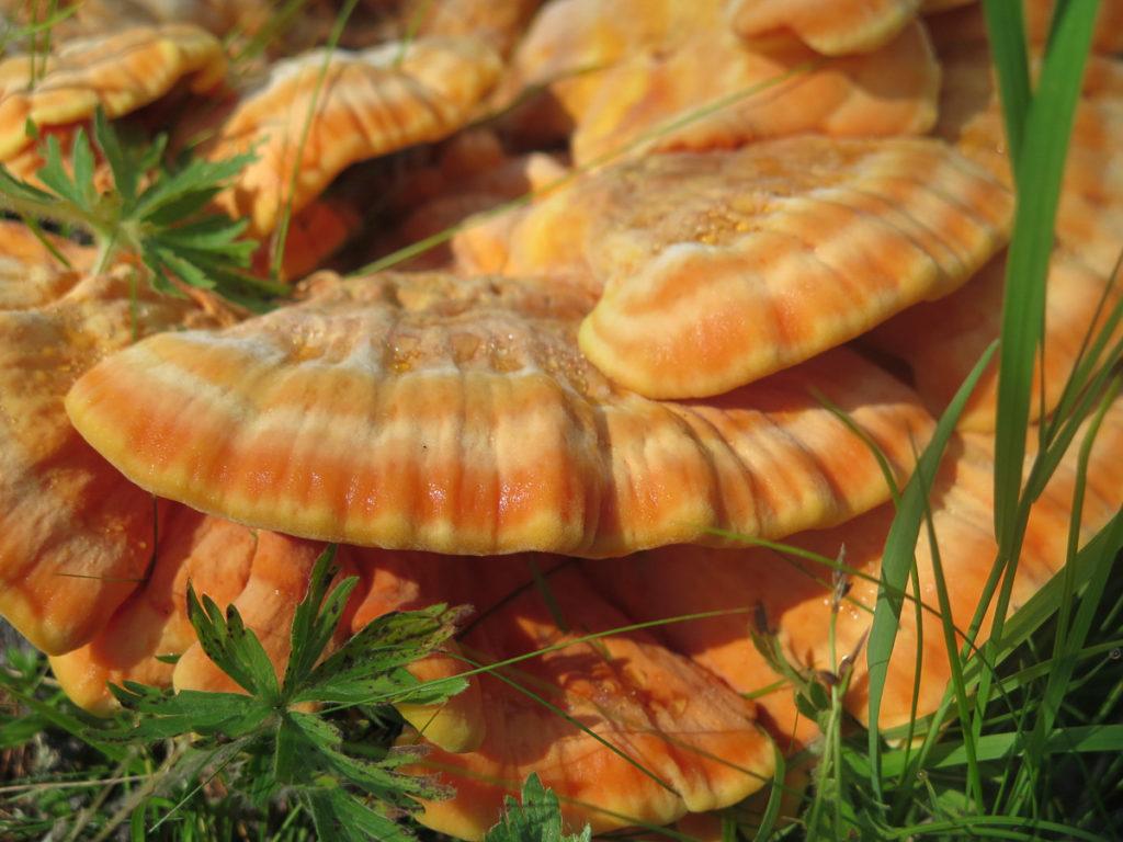 Orangefarbener Pilz in der Mongolei