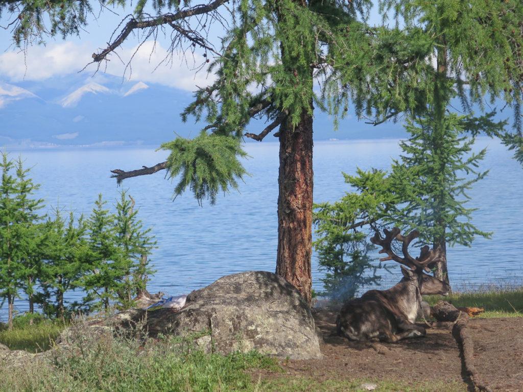 Bei den Rentiernomaden am Chuwsgulsee. im Hintergrund der See, rechts ein Rentier liegend.