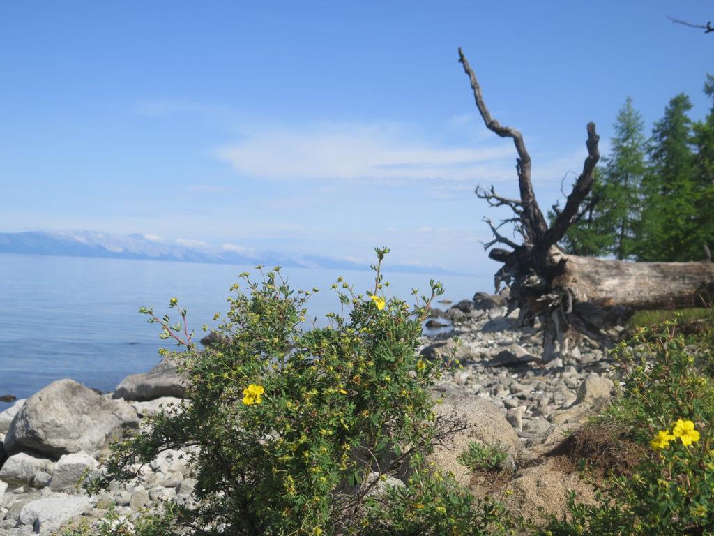 Chuwsgulsee mit gelbe Blumen im Vordergrund, eine umgefallene Baum dahinter