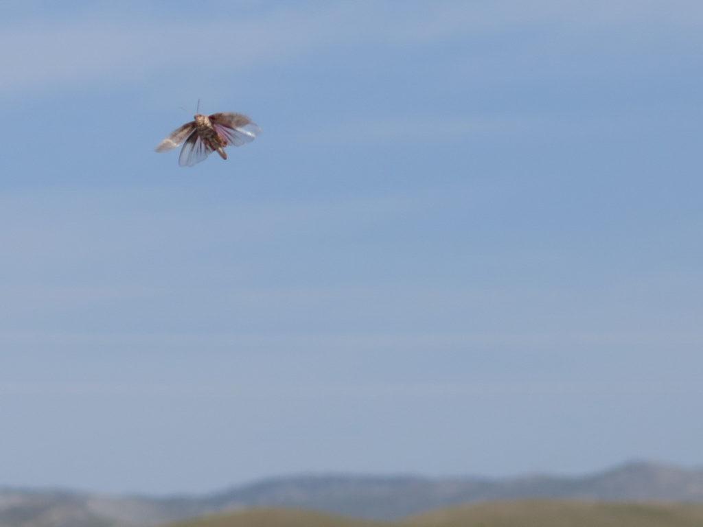 Insekt mit rosa Flügeln