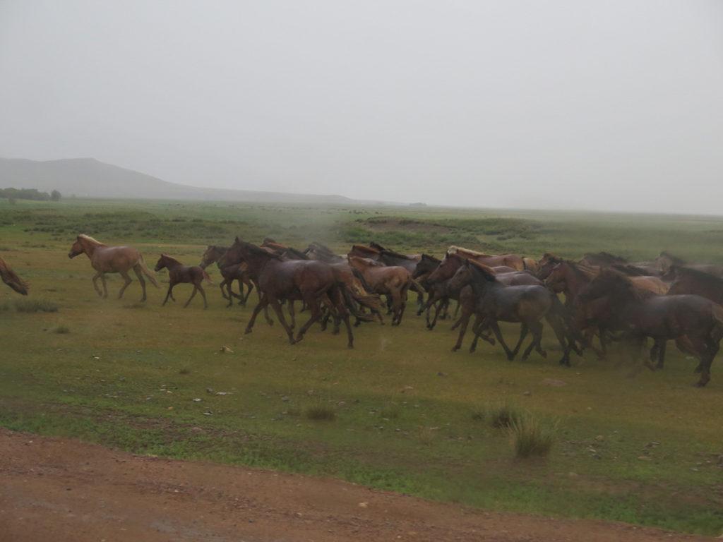 Pferdeherde bei Regen in Galopp in der Mongolei