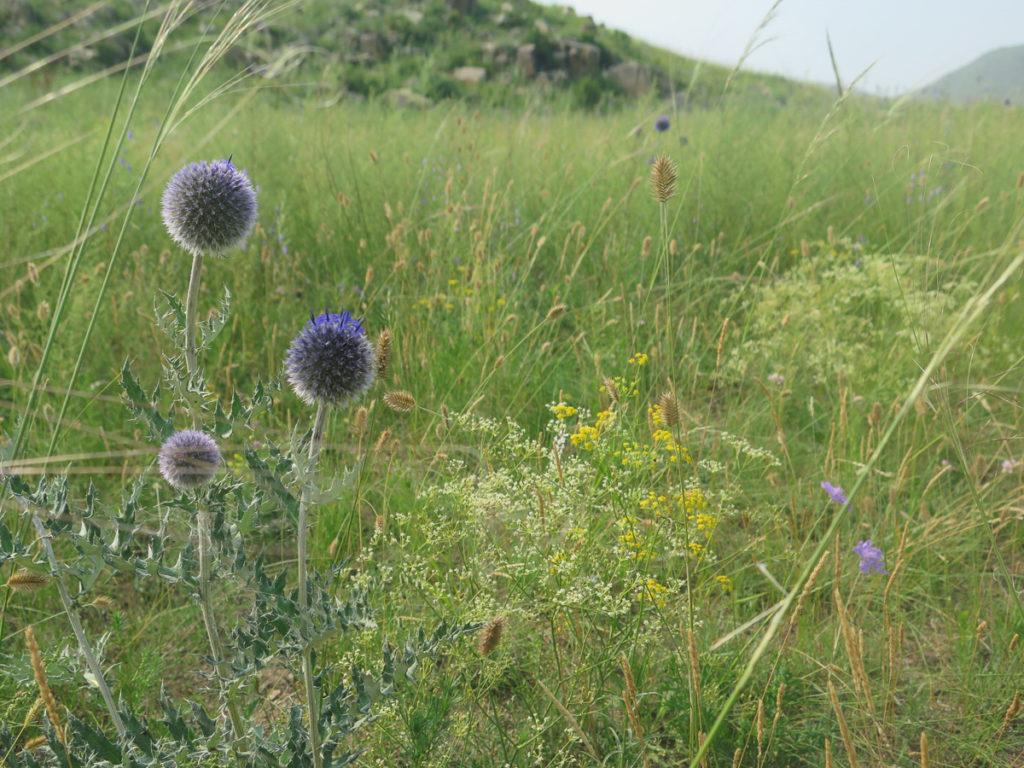 Lila Disteln auf Weide