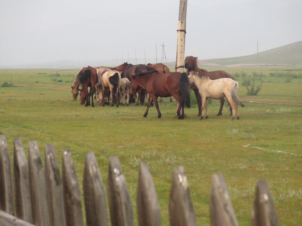 freie pferde in einer Herde in der Mongolei