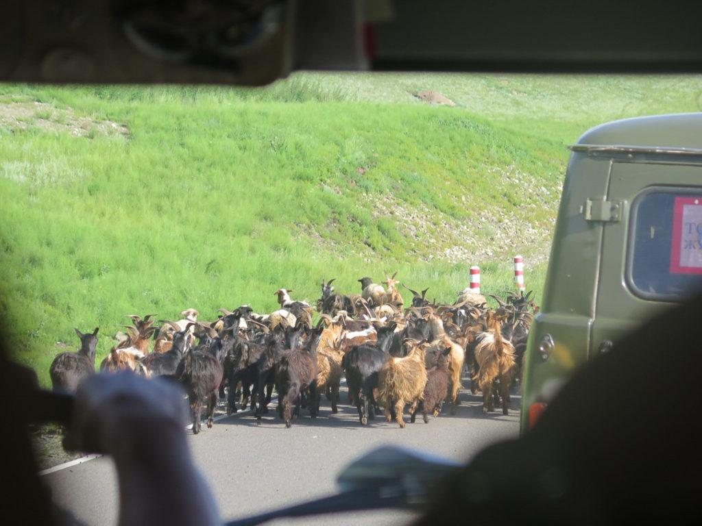 Ziegenherde über die Straße in der Mongolei