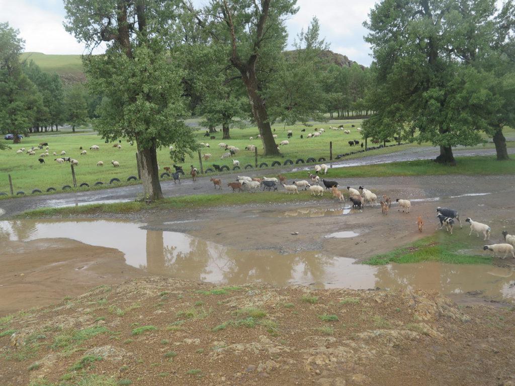 Matschiger Weg in der Mongolei mit Schafe die die Straße kreuzen