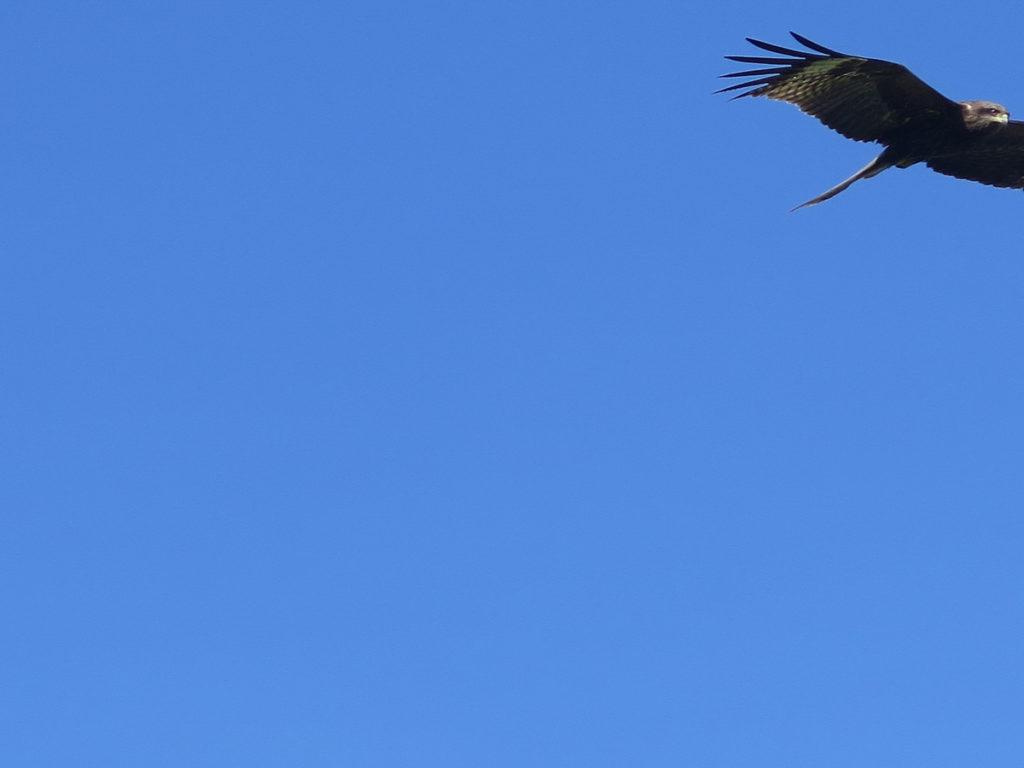 Viel blauer Himmel und in der rechten obere Ecke ein Raubvogel in Flug