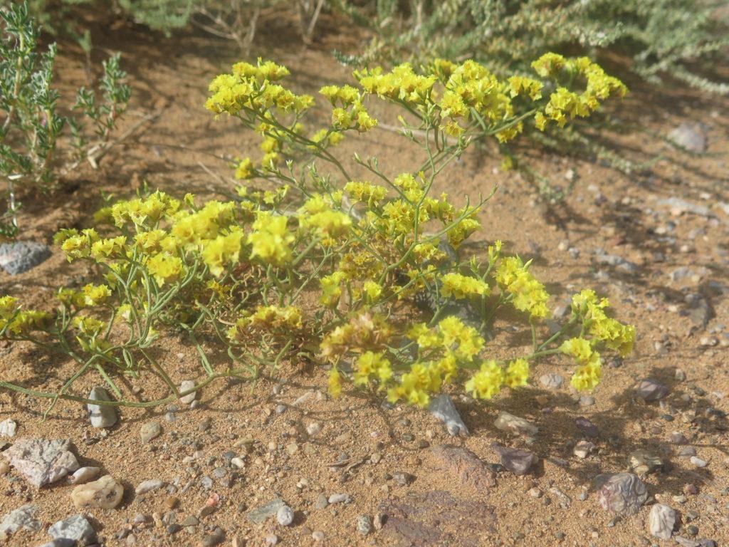 Wüstenblume in der Wüste Gobi, Gelbe Blüten
