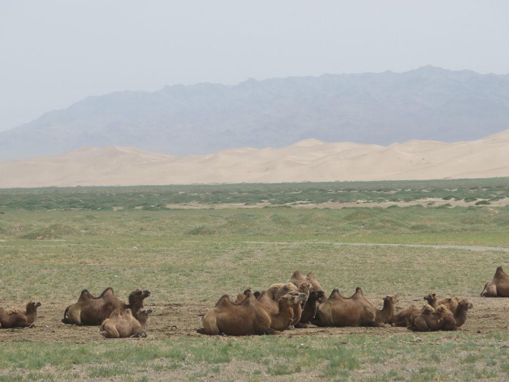 Im Vordergrund Kamele, im Hintergrund Sanddünen in der Wüste Gobi