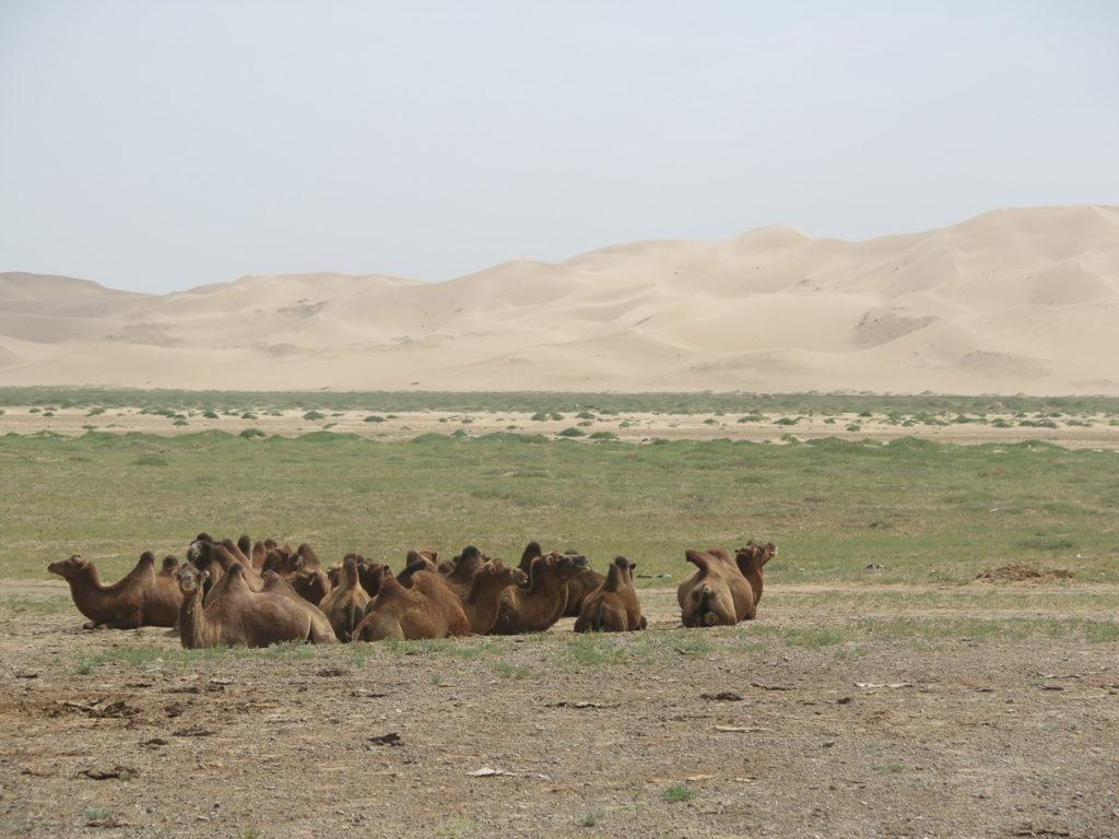 Kamele im Vordergrund, Wüste Gobi und Sanddünen im Hintergrund