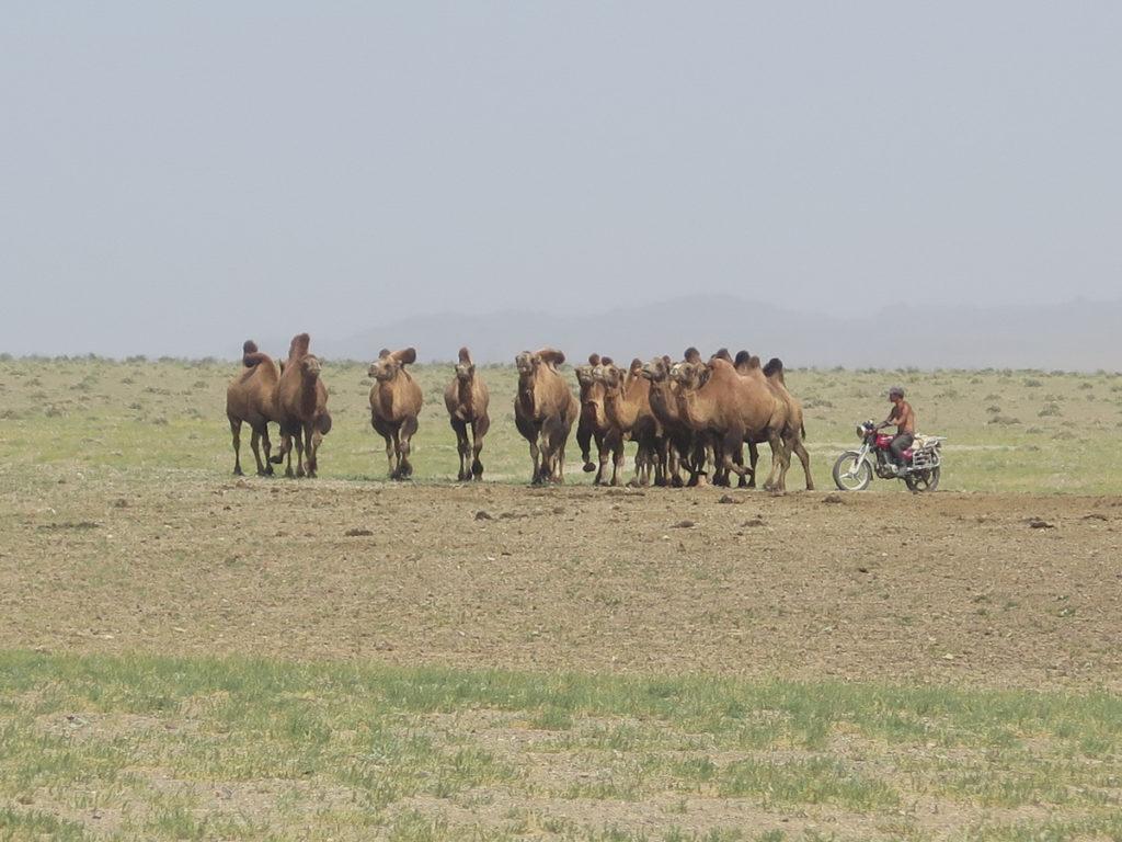 Kamelenherde wird zusammengetrieben von einem Mann auf Motorrad in der Wüste Gobi