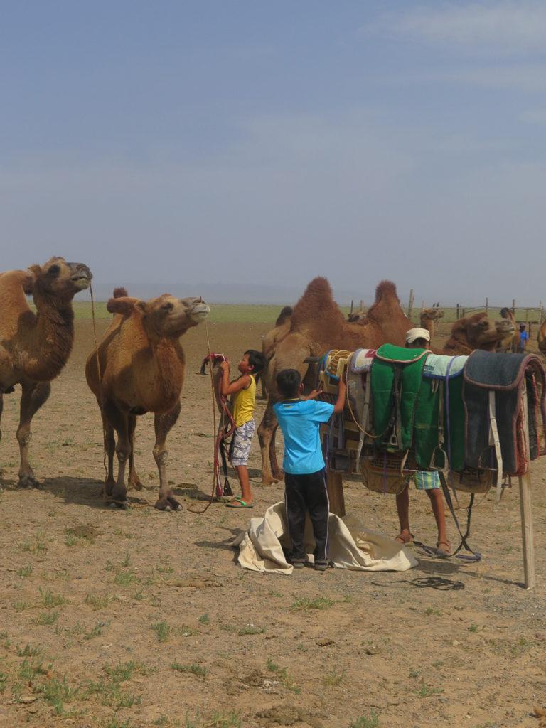 Kamele werden aufgesattelt von Kinder in der Mongolei