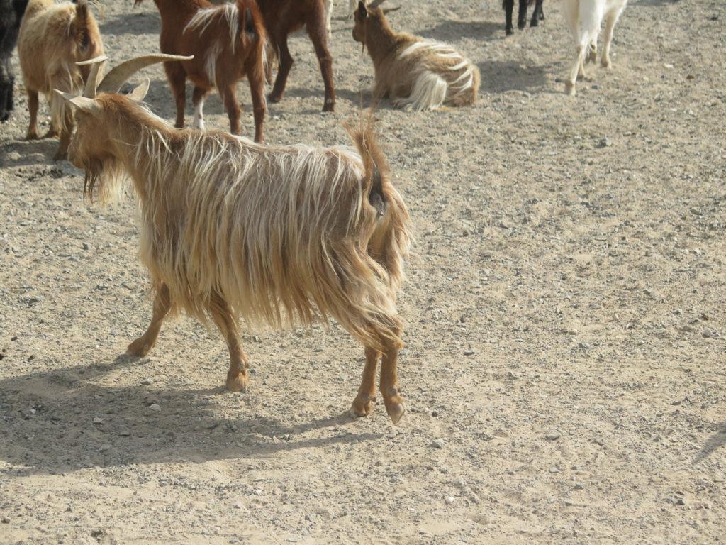 Braune Ziege mit ganz langem Fell