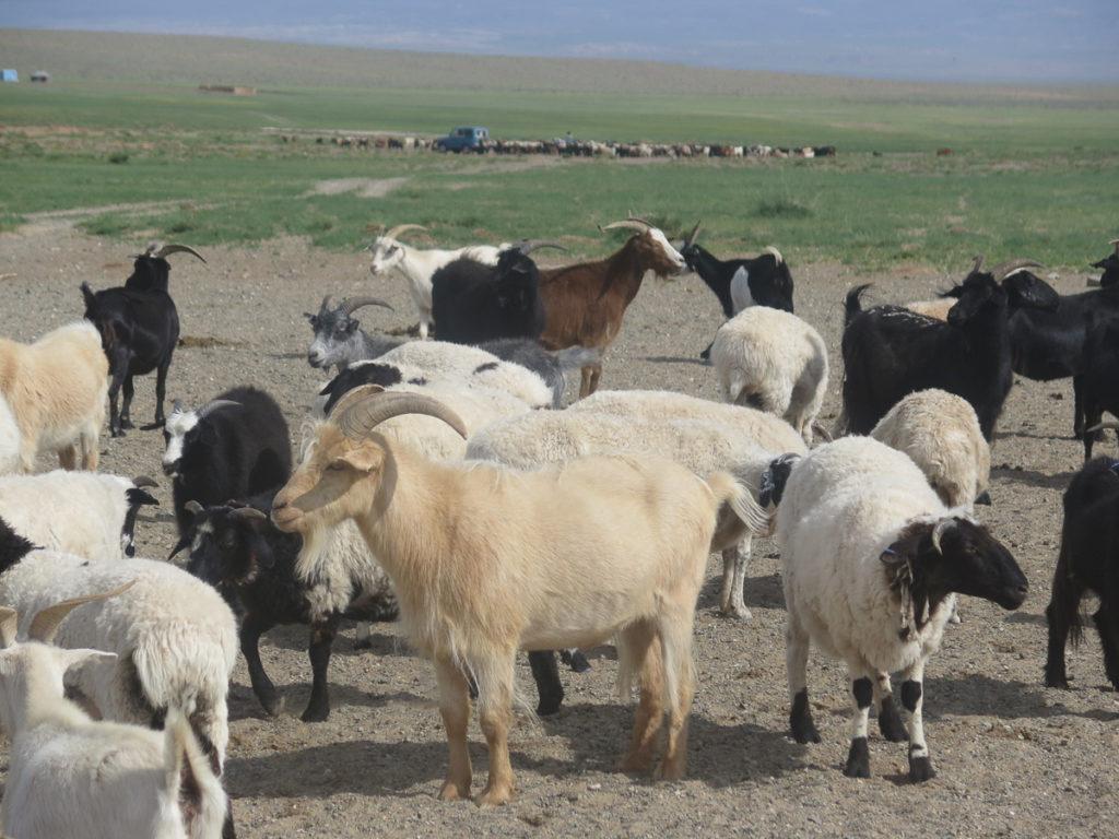 Ziegen in verschiedene Farben im Hintergrund eine große Herde mit Jeep