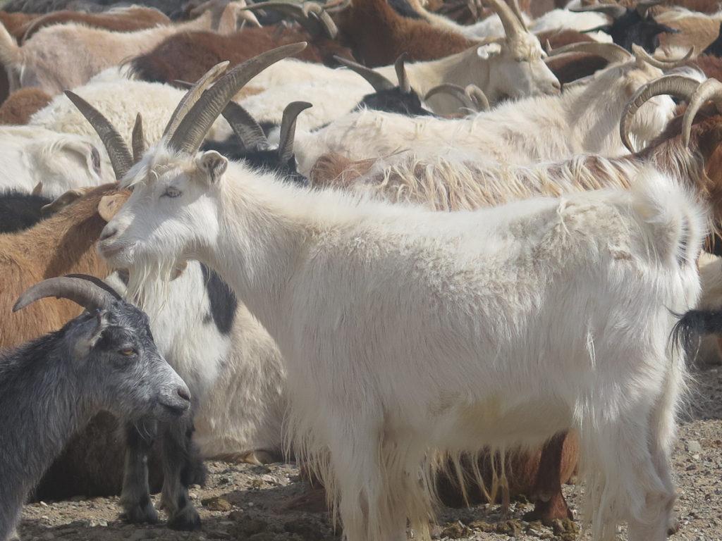Ziegen in alle Farben von weiß bis braun und grau