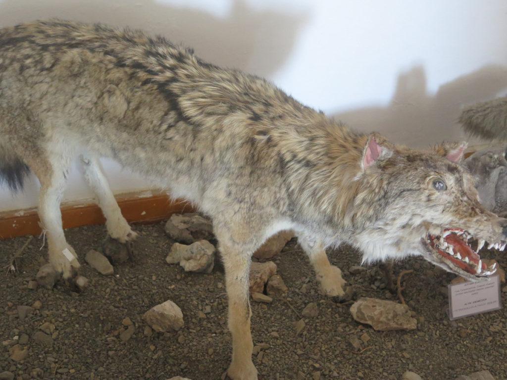 Ausgestopfter Wolf im Naturmuseum Mongolei