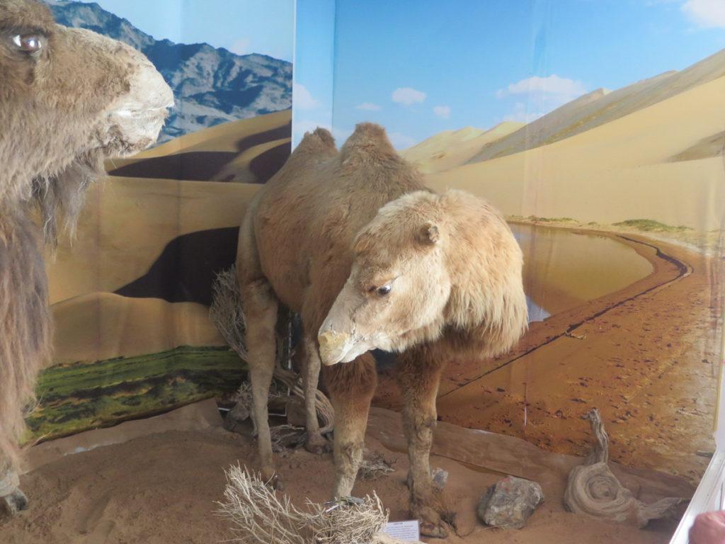 ausgestopftes Kamel im Naturmuseum Mongolei
