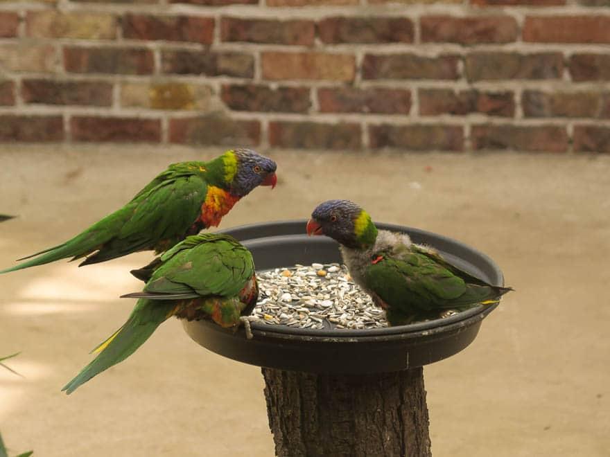 drei bunte Papagaien