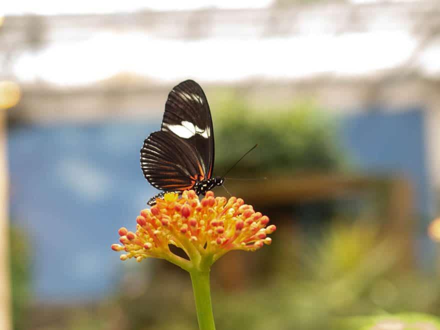 Schwarzer Schmetterling auf Blume
