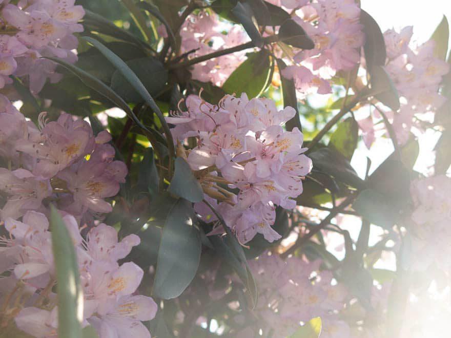 Rhodondendron in zart rosa überbeleuchtet