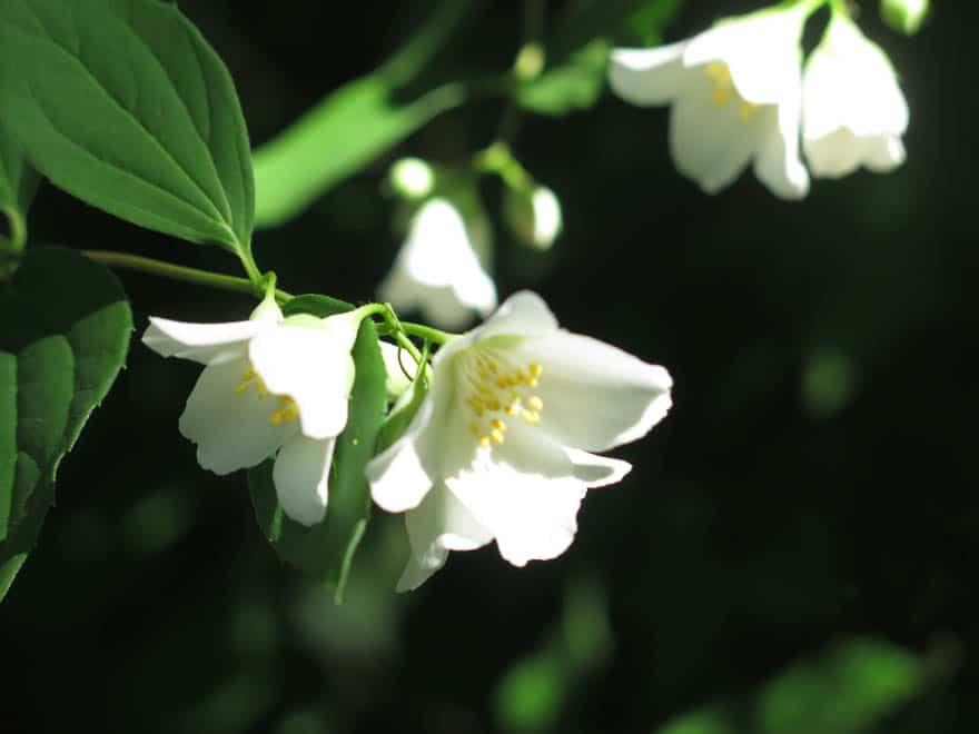 weiße Blüten Nahaufnahme