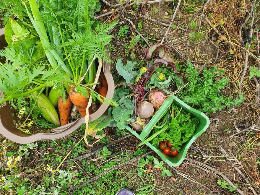 Gemüse in Körbe direkt vom Acker, Möhren, Rote Beete, Tomaten, Petersilie