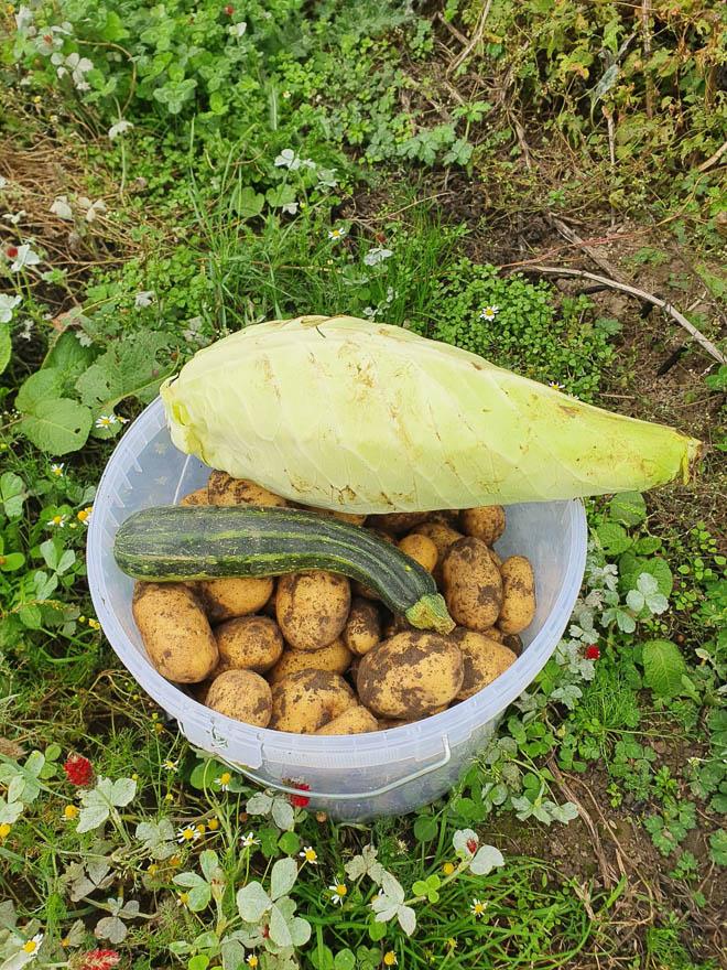 Plastikeimer mit Kartoffeln vom Acker, Zuchini und Spitzkohl