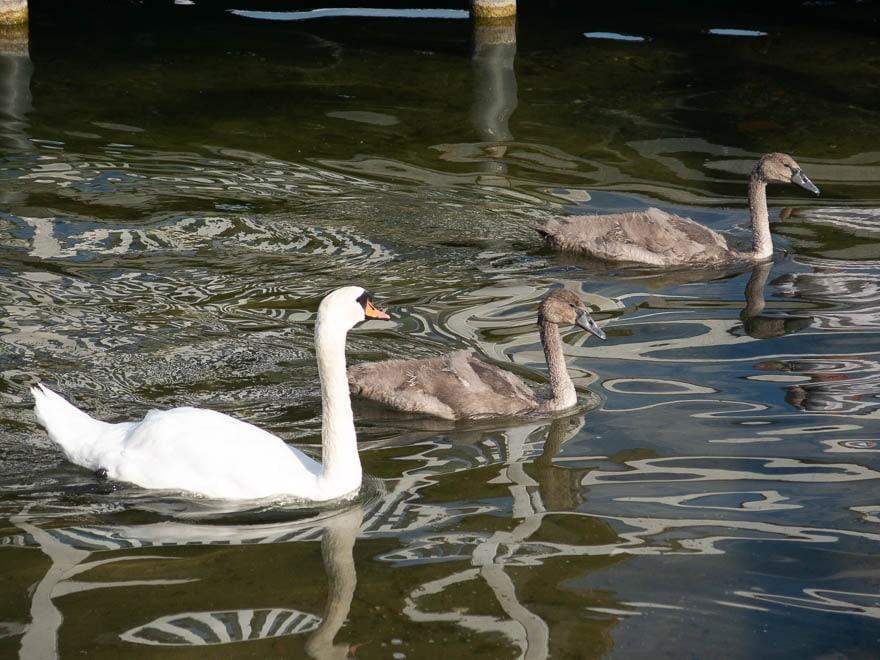 Ein erwachsener Schwan und zwei Jungen im Wasser