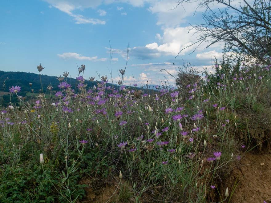 im Vordergrund lilafarbene Blumen