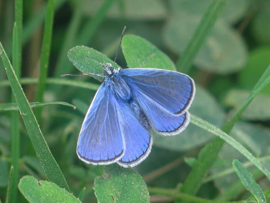 lilafarbene Schmetterling, Nahaufnahme, sitzt auf Blatt