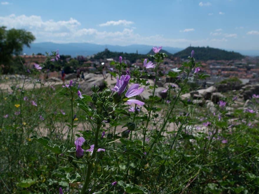 Im Vordergrund lila Blumen, im Hintergrund Plovdiv Nebet Tepe