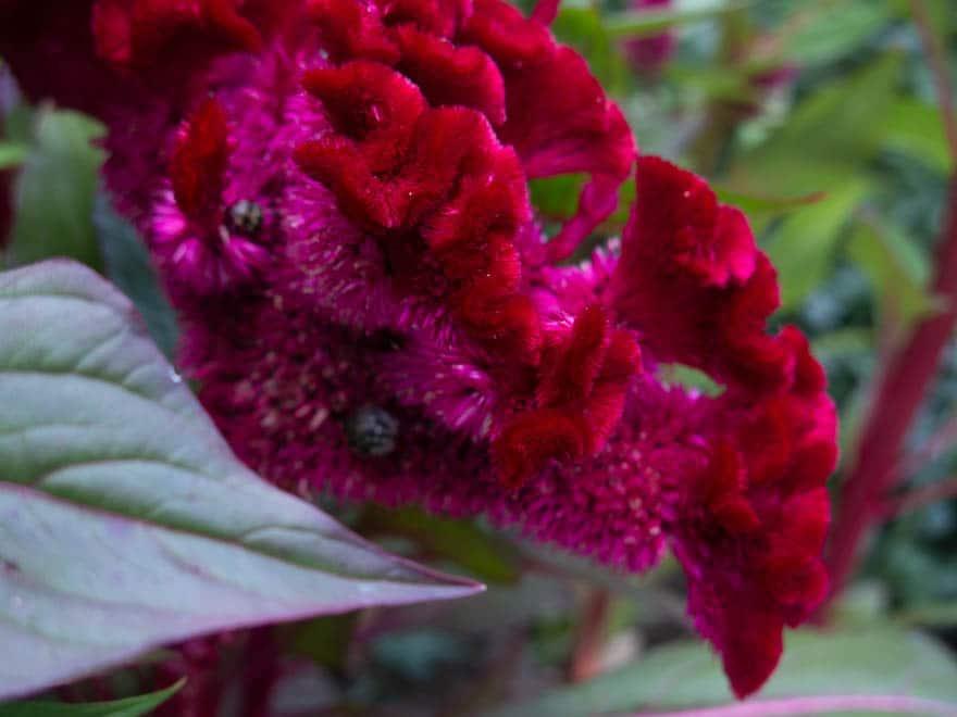 Plovdiv Blume rot pink