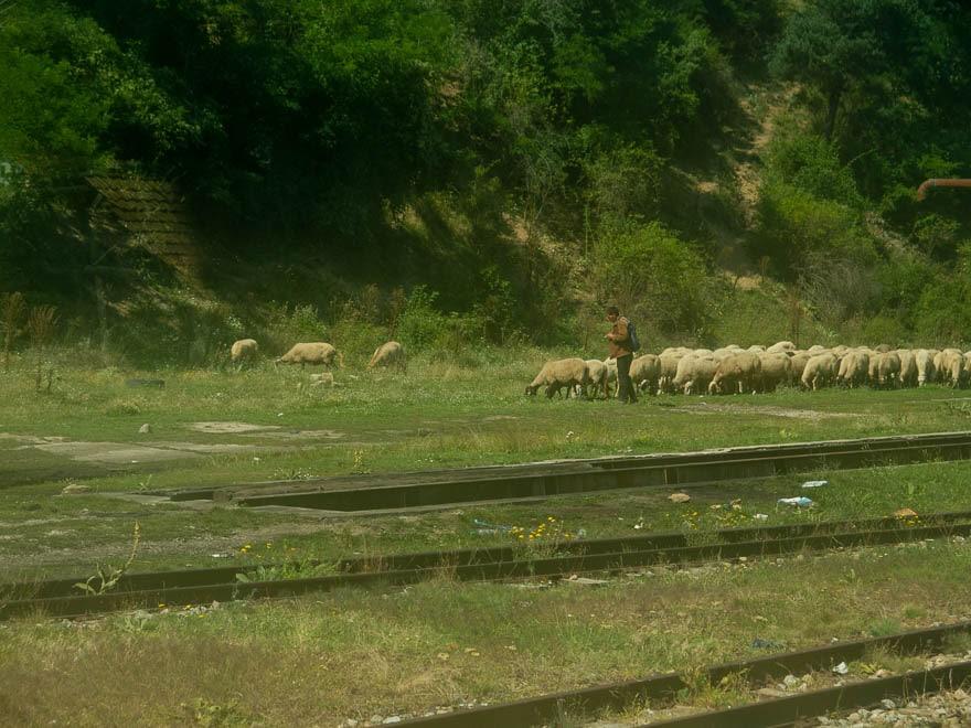 Schafsherde mit Schäfer in Bulgarien