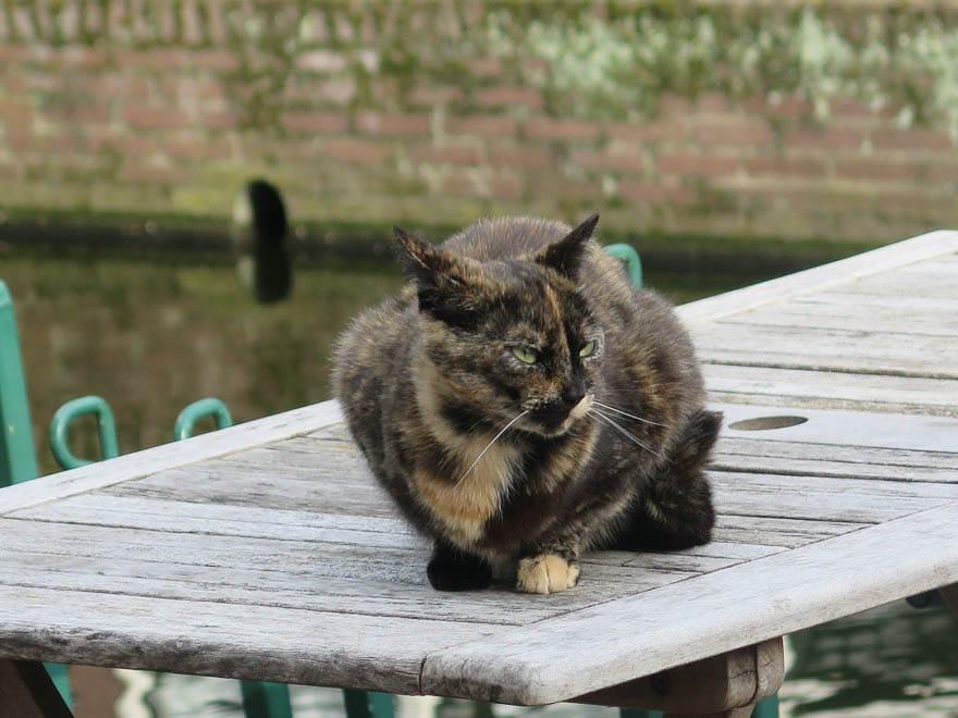 Katze dunkelbraun auf Holztisch
