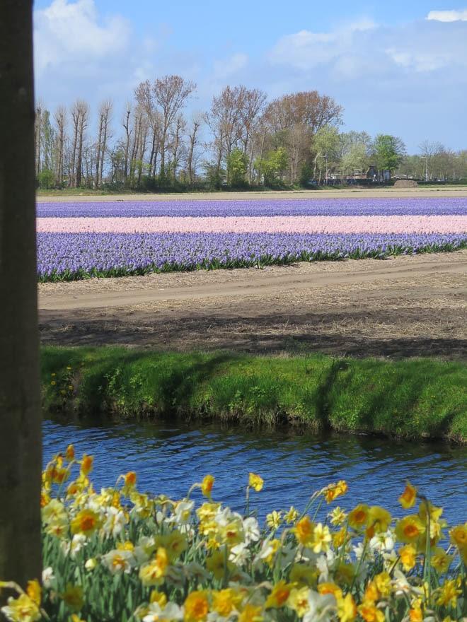 Tulpenfelder im Hintergrund, vorne Wasser und Narzissen, sonniges Wetter