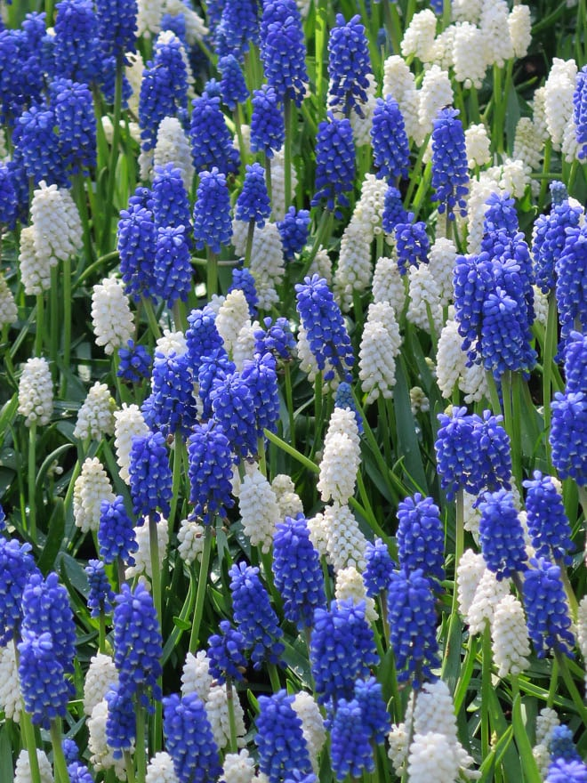 weiße und blaue Traubenhyazinthen Keukenhof