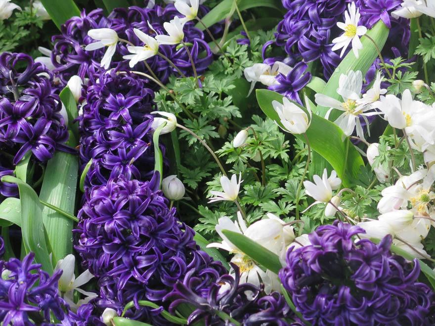Purpur Hyazinthen und wei´ße Frühlingsblumen