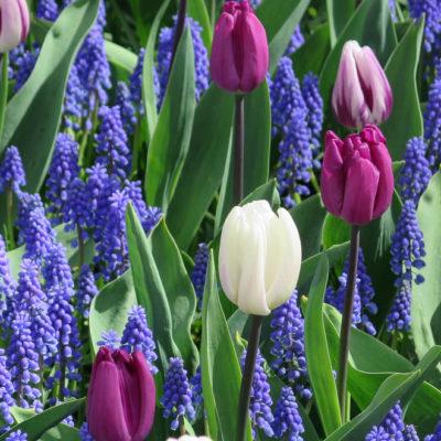 keukenhof niederlande tulpen pink und weiß, blaue Traubenhyazinthe