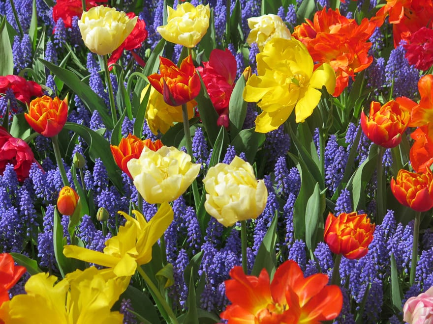 Blaue Traubenhyazinthen und gelbe und Orangefarbene Tulpen Keukenhof