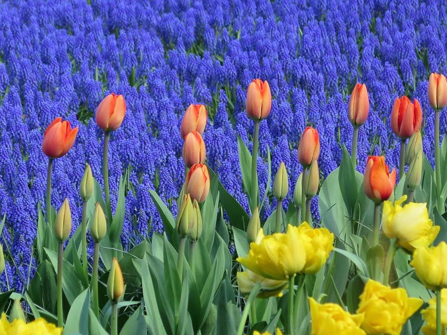 Traubenhyazinthen im Hintergrund, vorne gelbe und orangefarbene Tulpen