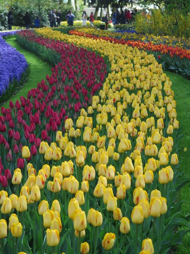 Tulpenbeet verschiedene Farben in geschwungene Linien